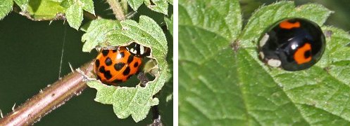 Ladybirds: tentative IDs: Twenty-four Spot (left), Harlequin (right)