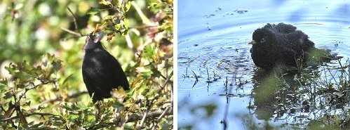 Blackbirds: foraging (left) and bathing in Tang Hall Beck (right)