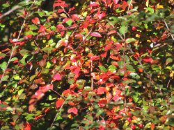 The striking Autumn red colours of a Cotoneasta