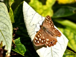 Speckled Wood butterfly, near the Environment Centre