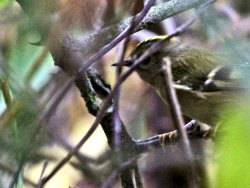 Goldcrest - one of two on the Cycle Track
