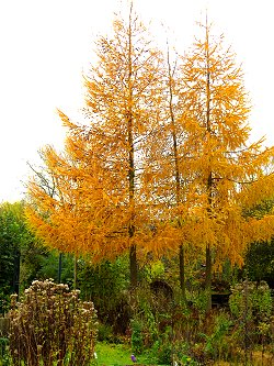 Larch trees opposite the Environment Centre