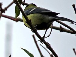One of the 15-strong Siskin flock seen today