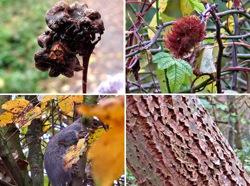 From top left - clockwise: (1) Knopper Gall. The little lava is the tiny grey spot seen bootom left (2) Robin's Pincusion (3) Interesting bark pattern on a Willow / Poplar sp. tree (4) Grey Squirrel trying to to hide from us!