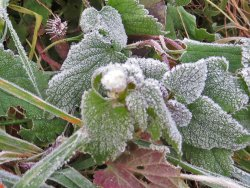 Frosted Deadnettle Flower by Osbaldwick Beck