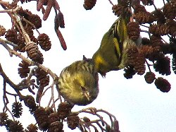 Two female siskins - part of a flock near the Dragon Stones
