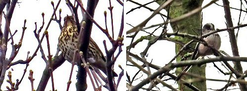 (Left) Song Thrush (Right) Long-tailed Tit