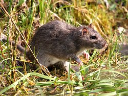 Brown Rat (not photographed at St Nicks)