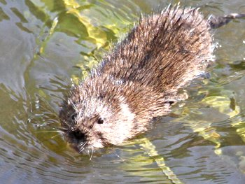 Water Vole swimming across Tang Hall Beck (September 2012)