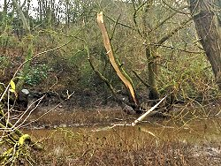 A very cracked Crack Willow by Tang Hall Beck