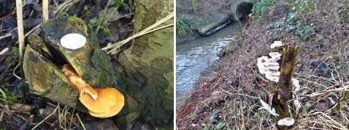 Two fungi species - both not identified. Right-hand shot upstream of Osbaldwick Beck