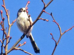 Long-tailed Tit next to the Tang Hall Beck Cycle Track
