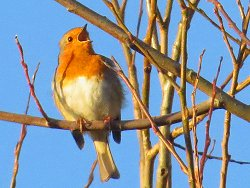 Robin singing next to the Environment Centre