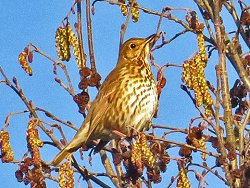 Song Thrush by Osbaldwick Beck
