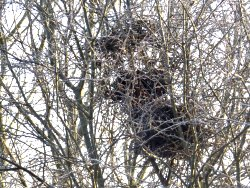 Old Magpie nest