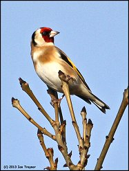 Goldfinch and Ash buds