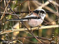 Long-tailed Tit: one of a flock foraging by Osbaldwick Beck