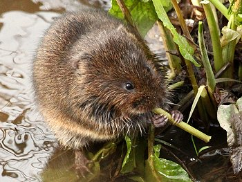 Water Vole feeding by Tang Hall Beck - photographed in January 2013