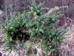 Flowering Gorse bush near the Playground