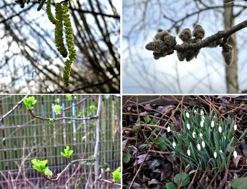 Clockwise from top left: Hazel catkins, Aspen catkins, Snowdrops along Osbaldwick Beck, new Hawthorn leaves