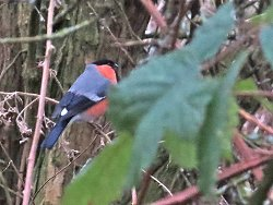 A very bright Bullfinch near the Tang Hall Beck Cycle Track