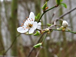 Prunus sp. blossom along the Bund Path