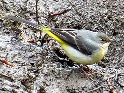 Grey Wagtail, feeding by Tang Hall Beck