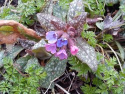 Lungwort (photo by Kaj)