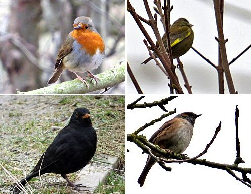 Common birds seen today at St Nicks: Clockwise from top left: Robin, Greenfinch, Dunnock, Blackbird