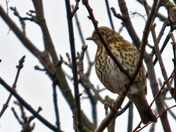 Song Thrush along the Tang Hall Beck Cycle Track