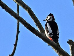 Male Great Spotted Woodpecker next to Osbaldwick Beck