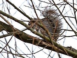 Grey Squirrel near Tang Hall Beck Cycle Track