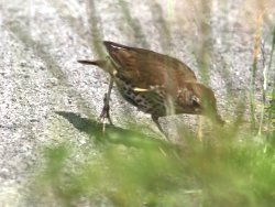 Song Thrush next to the Tang Hall Beck Cycle Track