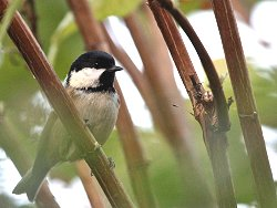 Coal Tit.. but not photographed at St Nicks