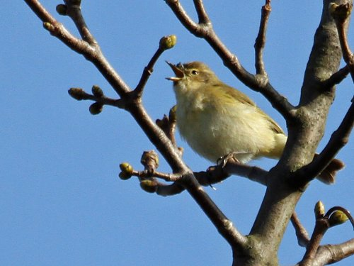 Singing Chiffchaff: St Nicks 28 March 2012