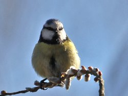Blue Tit - feeding on buds near the Kingfisher Culvert