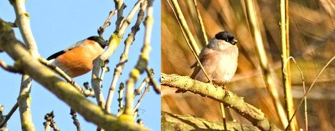 Bullfinches seen today: (left) male (right) female