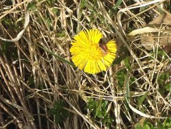 Coltsfoot in flower today