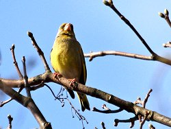 Singing Greenfinch along the Tang Hall Beck Cycle Track
