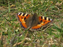 Small Tortoiseshell - one of our first butterflies of the year