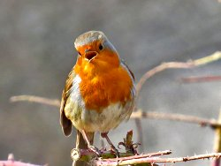 Singing Robin - near the Environment Centre