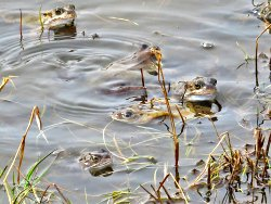 Mating Common Frogs - not taken at St Nicks, but at the Filey Country Park.
