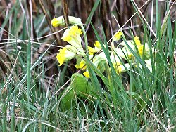 Cowslips near the Flower Meadow