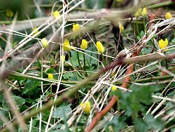 Lesser Celandines near the Playground
