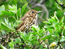 Song Thrush by the Tang Hall Beck Cycle Track