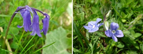 Bluebell (left) and Germander Speedwell (right)