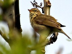 A singing Chiffchaff by Tang Hall Beck