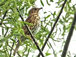 Yet another Song Thrush!