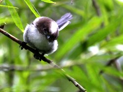 Juvenile Long-tailed Tit, at the Kingfisher Culvert in 2011