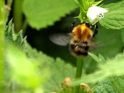 Possible Carder Bee on the Tang Hall Beck path